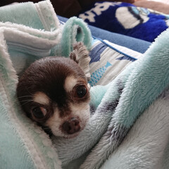 チワワ/小型犬/可愛い/チョコタン/クリクリ 真夏だろうが毛布にくるまるのが大好きです…