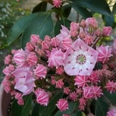 「カルミラが咲き始めました。❤ この可愛い…」(1枚目)