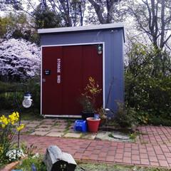 物置/ペイント/DIY/庭 バックの桜がきれい。 物置小屋にもう少し…