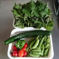 ピ−マン/プチトマト/青シソ/キュウリ/菜園/フード 今日の収穫色々d(^o^)b