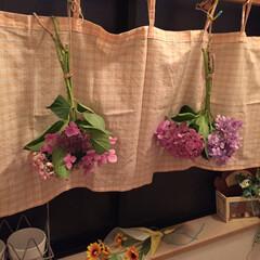 紫陽花 梅雨の晴れ間に庭の紫陽花を摘んで窓際に(…