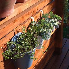 植物のある暮らし/ウッドデッキDIY/ミセバヤ/ワイヤープランツ/DIY ウッドデッキの板壁に グリーンを引っ掛け…
