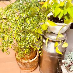 観葉植物 スクスク育ってます(๑˃̵ᴗ˂̵)  ポ…
