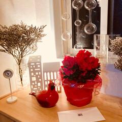 アザレアの鉢植え/娘からの手紙 今日は娘の卒業式✨ 手紙とアザレアの花が…