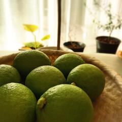 檸檬/実のなる木 植樹7年目で初めて実った檸檬🍋 出勤前に…