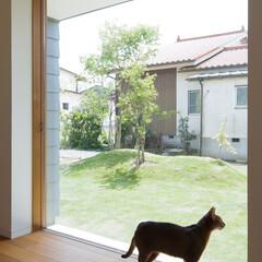 ネコ/猫/引き戸/庭/建具/住まい/... 大開口の木製引戸 庭を眺めるネコ