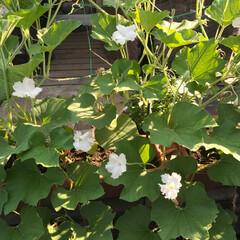 ひょうたんアート/ハンドメイド/グリーンカーテン/ガーデニング/ひょうたん ひょうたんのお花が咲きました!