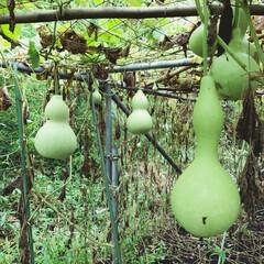 ひょうたん/ひょうたん栽培 こちらは、別の畑で育てた、特大ひょうたん…