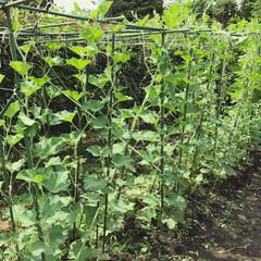 ひょうたん栽培/ひょうたん棚/ひょうたん 棚まで成長したので、親ツル摘心しました …