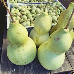 ひょうたん/ひょうたん栽培 4個、特大ひょうたん収穫しました!