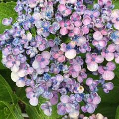 散歩/紫陽花 お多福紫陽花って言うみたいです。レースみ…