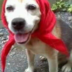 アンディー君/愛犬/スヌーピー/ビーグル犬 我が家の番犬アンディー君♪ いつまでも忘…