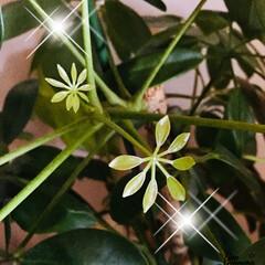 ホンコンカポック/ダイソーグリーン カポックの新芽 カポックの赤ちゃん❣️ …