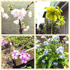 芝桜/忘れな草/桜/盆栽/クリスマスローズ/ガーデニング/... 桜の盆栽🌸 今年も無事に咲きました。 ク…