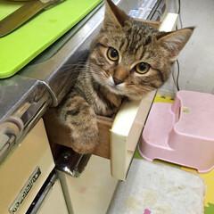 ネコ/ペット/キッチン うちの愛ネコ🐈 ちょこたん⤴︎⤴︎ 彼女…