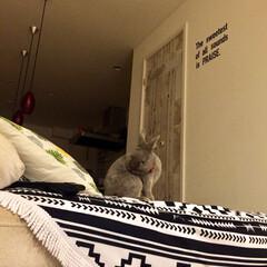 うさぎと暮らす/リビング/ペット お気に入りのソファーで毛づくろいᙏ̤̫💕