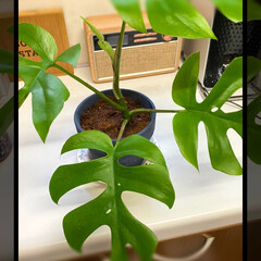 観葉植物/100均/ダイソー 昨日の笹と一緒にヒメモンステラも購入。 …
