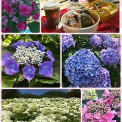 紫陽花 友達と紫陽花を見に行って来ました。 何種…