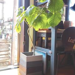 観葉植物のある暮らし/ウンベラータ/鉢カバー/色の順番が変えられる鉢カバー/インスタグラムやってます/ブログ書いてます/... ウンベラータを入れている鉢(鉢カバー)は…