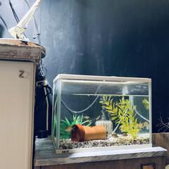 金魚/水槽/インスタグラムやってます/ブログ書いてます/うららかものづくりCafe/雨季ウキフォト投稿キャンペーン/... 玄関の小さいほうの水槽に 新しい金魚が仲…