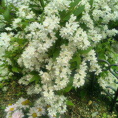 花/グリーン/ガーデニング 庭に咲いた花。 真っ白に咲き誇ってくれて…