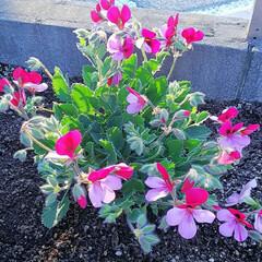 わが家にも春/植物/小さい春 お花屋さんの店先にも春色の花が並びだしま…