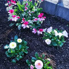 わが家にも春/植物/小さい春 お花屋さんの店先にも春色の花が並びだしま…(2枚目)
