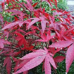 紅葉/植木/もみじ/フォロー大歓迎 庭のもみじが赤く染まり、とっても目をひい…