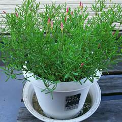 植木鉢/白い花/植物/フォロー大歓迎 今年も可愛い花を咲かせてくれました💛 1…