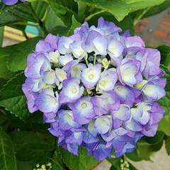 アジサイ/あじさい/紫陽花/植木/グリーン 庭の紫陽花が咲きました。 とても綺麗でお…