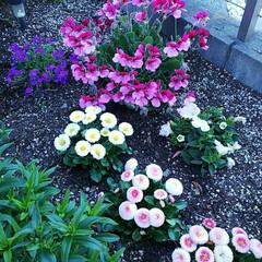 花壇/花/春のフォト投稿キャンペーン/フォロー大歓迎/春の一枚 春の日差しを浴びて、庭に植えたお花達が …
