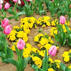 たんぽぽ/チューリップ/おでかけ 散歩の途中で「春」を見つけました。  チ…