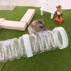 フェイクグリーン/人工芝生/トンネル/ペット用品/ペットと暮らす家「house-zoo」/ペット/... ■ダイソー  ハムスターガーデン作りまし…
