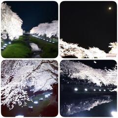 ライトアップ/夜桜/桜/おでかけ/お花見 今まで見た中で一番美しい 2018年の…