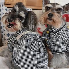 犬/ミニチュアシュナウザー/手作り犬服/犬服/ハンドメイド/多頭飼い/... わんこ服手作り!マール3歳可愛くワンピー…