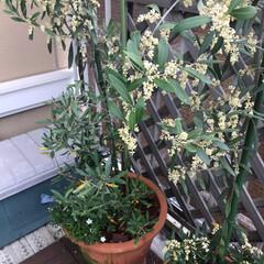 園芸 今年、初めてオリーブの花🌸が沢山咲きまし…