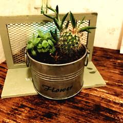 ブリキ缶/緑/サボテン/多肉植物/100均/ダイソー/... トイレをDIYしたら 緑が欲しくなってこ…