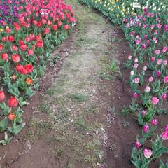 チューリップ/花/春/おでかけ/風景/春の一枚 春爛漫!チューリップロードを発見! 可憐…