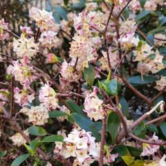春/花/おでかけ/風景/小さい春 お散歩をするとふんわりと良い香りが…沈丁…