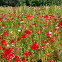 ポピー/花/春のフォト投稿キャンペーン/GW/LIMIAおでかけ部/おでかけ/... 巨大なポピーの花畑を発見! どこを見ても…