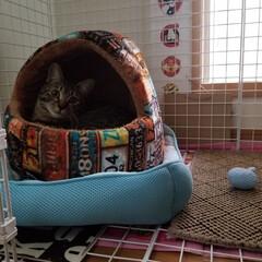ケージDIY/愛猫/ペット/DIY/100均/ダイソー ベッドでくつろぎ中のライくん❤️