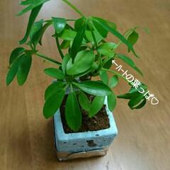 カポック/幸せになれそうなハートの葉っぱ♡/ハートの葉っぱ♡/グリーン 1枚だけ葉っぱがハートの形♡ 幸せ運んで…(1枚目)