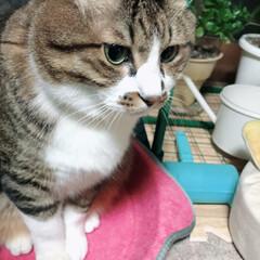 ぶさわか/貫禄のある猫/ペット/ペット仲間募集/猫/にゃんこ同好会/... ぽっちゃり、貫禄のある、どしっと構えてる…