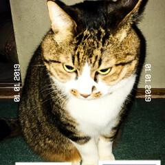 貫禄のある猫/あけおめ/ペット/猫/にゃんこ同好会/年末年始/... 初めて実家に行き、初めての仔猫とご対面で…