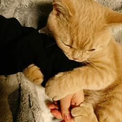 ブリティッシュショートヘア/猫のいる風景/猫のいる暮らし/イベント投稿/離れたくない/離れない/... 我が家の愛猫♥️ブリティッシュショートヘ…