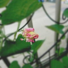 ピンクのお花/お花のある暮らし/かわいいお花/アサガオ/令和の一枚/はじめてフォト投稿/... とってもキュート♡な朝顔のつぼみちゃん(…