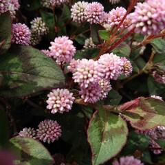 実家のお花たち/癒し/花のある暮らし/コロナに負けるな/暮らし 近くで見るとピンクの金平糖のような❣️ヒ…(1枚目)