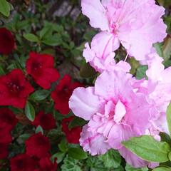 コロナに負けるな/癒し/花のある暮らし/暮らし 実家で咲いている ツツジ色々💠蜂も喜んで…(3枚目)