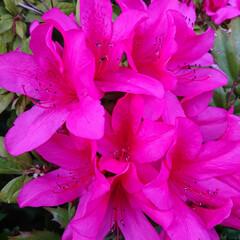 コロナに負けるな/癒し/花のある暮らし/暮らし 実家で咲いている ツツジ色々💠蜂も喜んで…(2枚目)