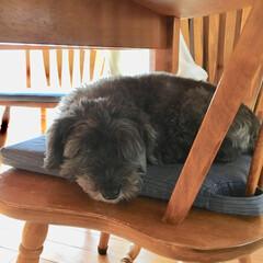 犬/愛犬/チャイプー/ペット 爪切り&足の裏の毛 を切っているのを見て…